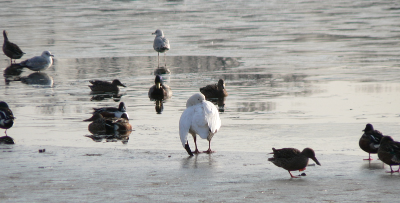 Snow Goose on Prospect Lake