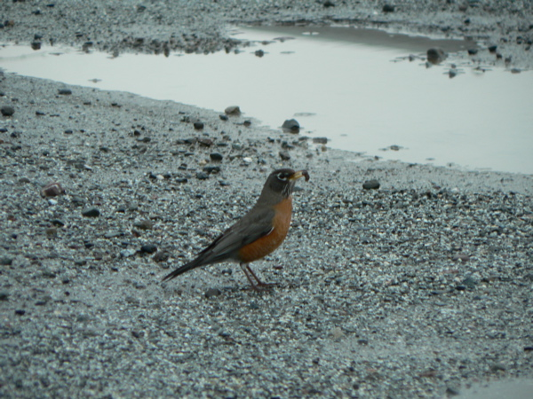 American Robin in California