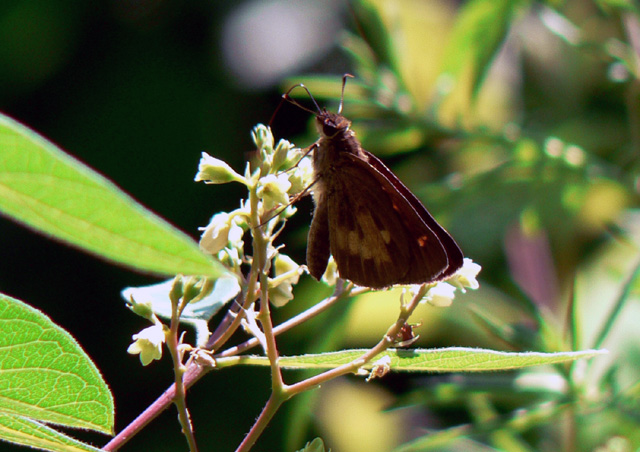 Skipper butterfly perched