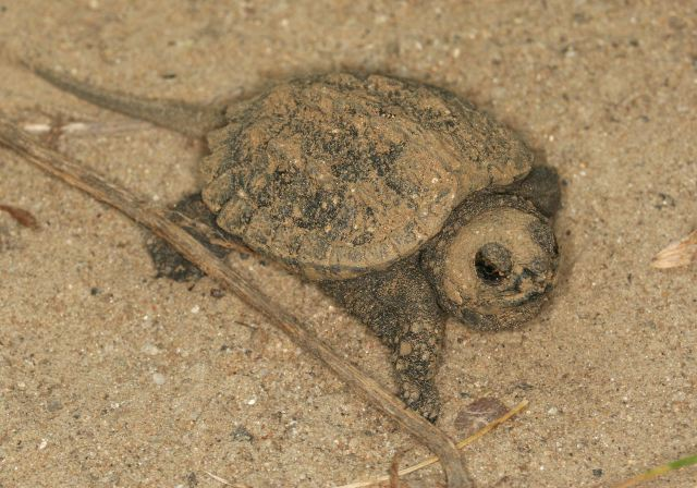 small snapping turtle covered in sand