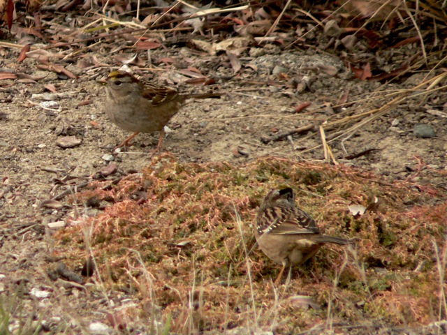 Two Golden-crowned Sparrows feeding on ground