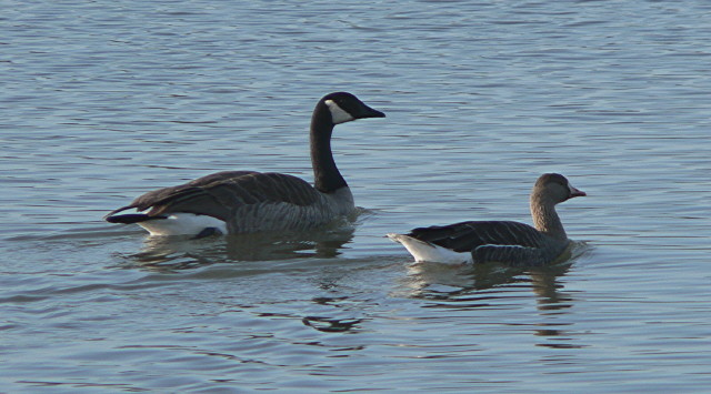 Greater White-fronted Goose swimming next to Canada Goose