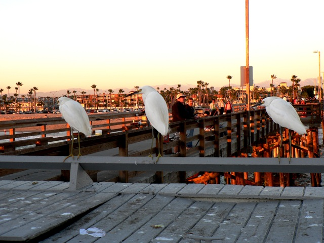3 Snowy Egrets perched on pier at sunset