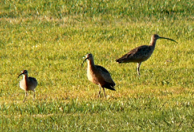 One Whimbrel and Two Long-billed Curlews on grass