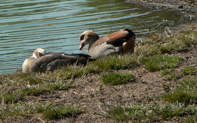 Egyptian Geese sleeping
