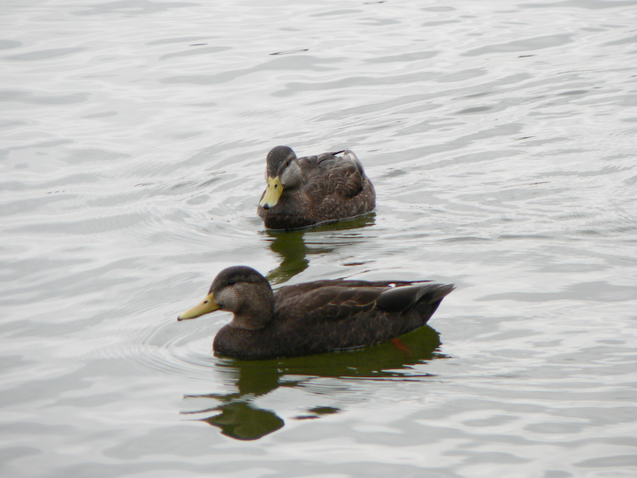 2 Black Ducks in lake