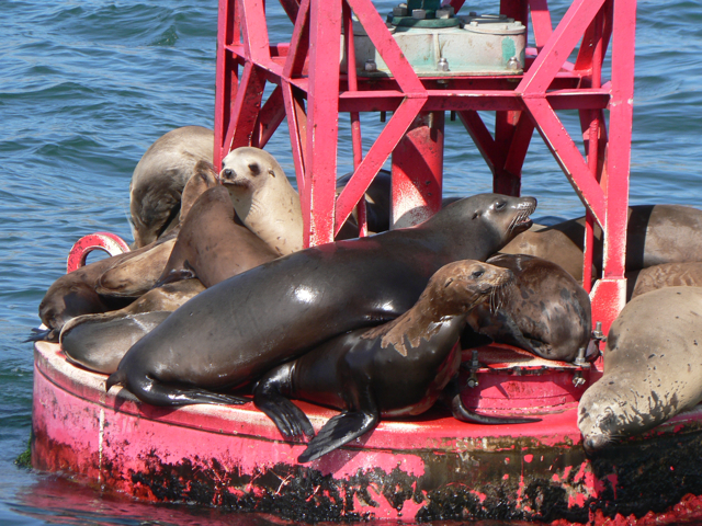 California Sea Lions on red buoy