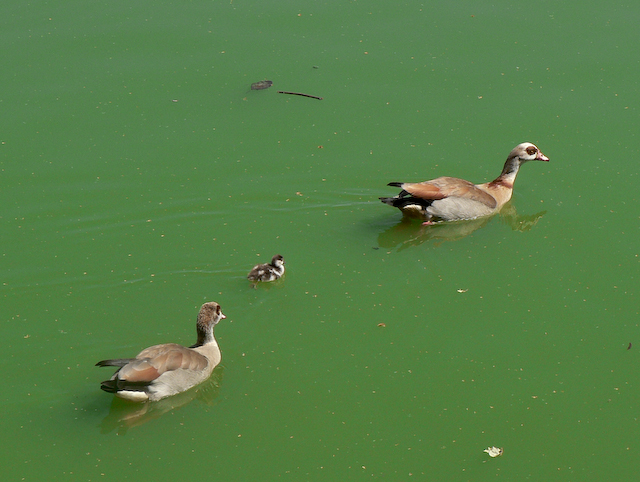 Momma, daddy, and baby goose