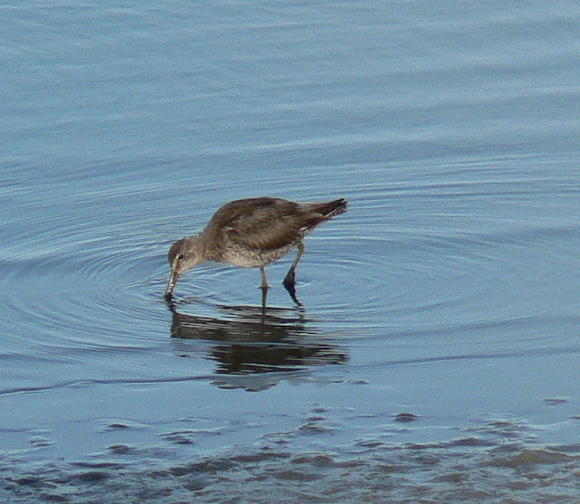 Long-billed Dowitcher feeding in shallow water
