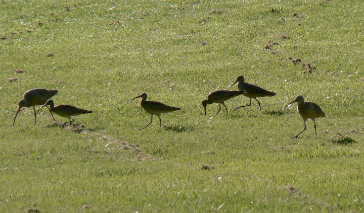 Whimbrels., marbled Godwit, and Long-billed Curlew