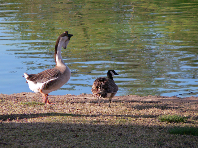 Swan Goose and Cackling Goose