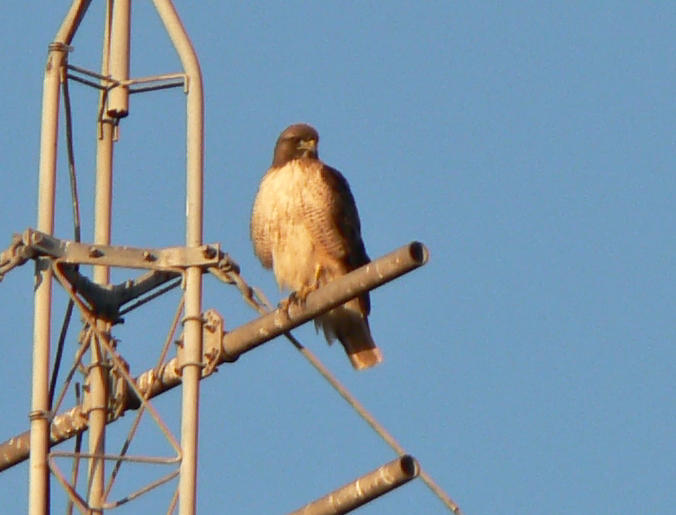Perched Buteo
