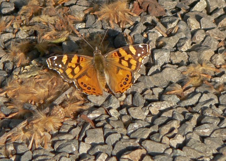 Brown, orange and white butterfly