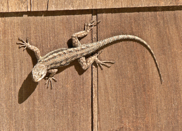 Grey lizard on wall