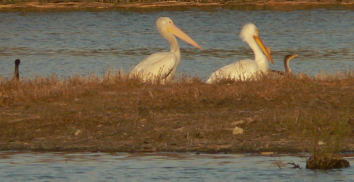 2 White Pelicans, cormorants at dusk