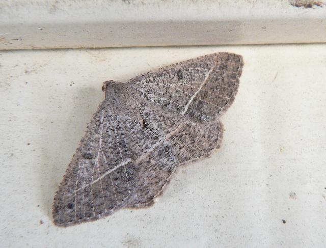 Gray speckled moth on wall
