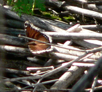 Mourning Cloak butterfly with wings spread