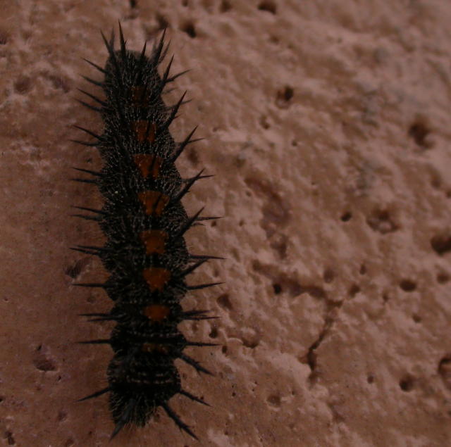 Black and red spiky caterpillar attached to wall