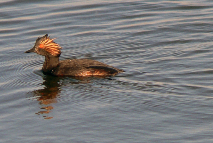 small pointy billed duck with golden tuft of feathers by ear