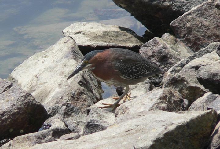 Green Heron on rocks in harbor
