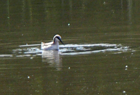 Phalarope at San Joaquin, Pond A