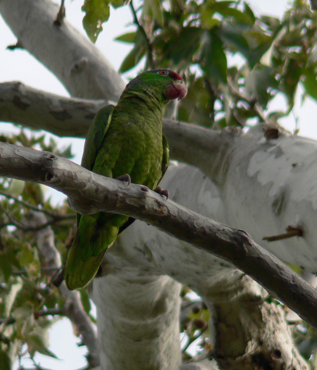 Red-crowned, green parrot perched in tree