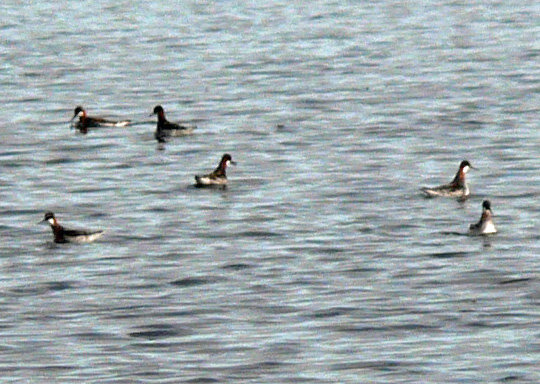 6 Red-necked Phalaropes feeding in water