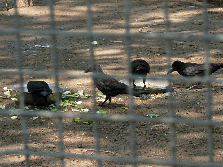 4 Thick-billed crows behind a fence eaiting out of pan