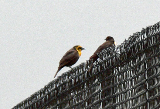 Two female Yellow-headed Blackbirds perched on chain link fence