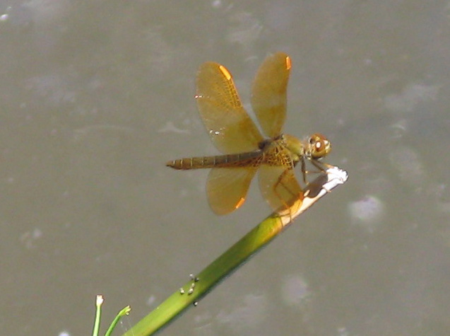 copper colored dragonfly, perched