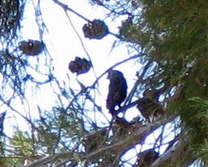 small bird in pine tree far away