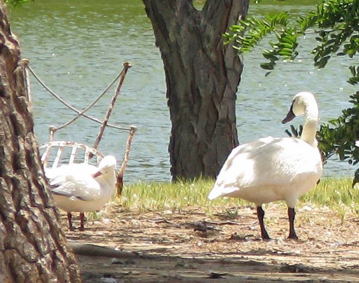 White swan with black legs and black bill