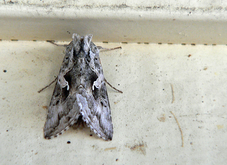 Gray and white moth on wall