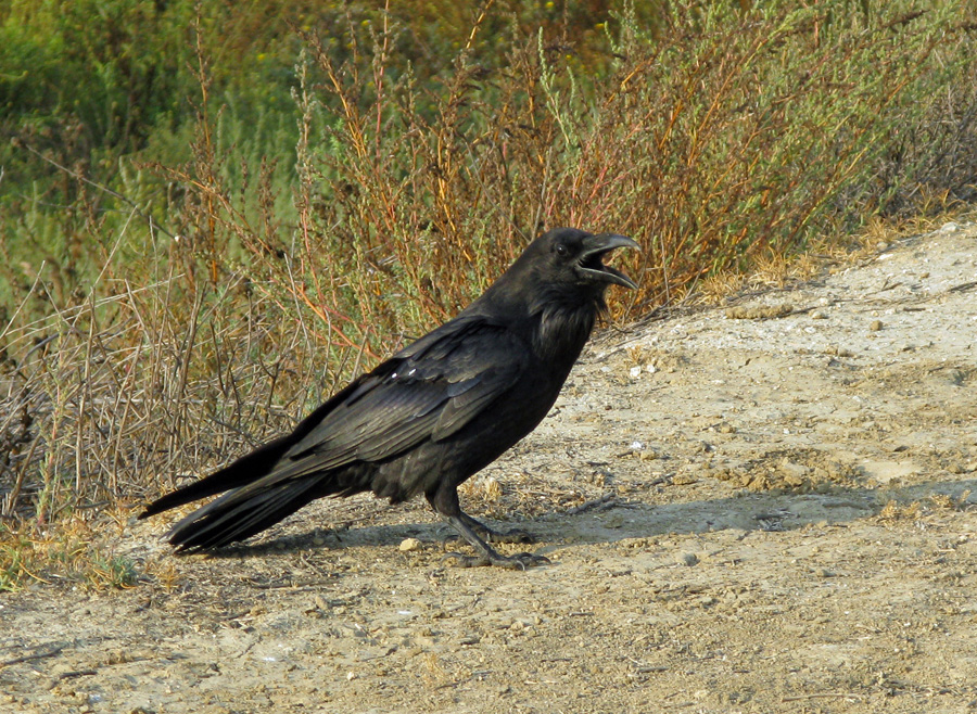 Large black bird