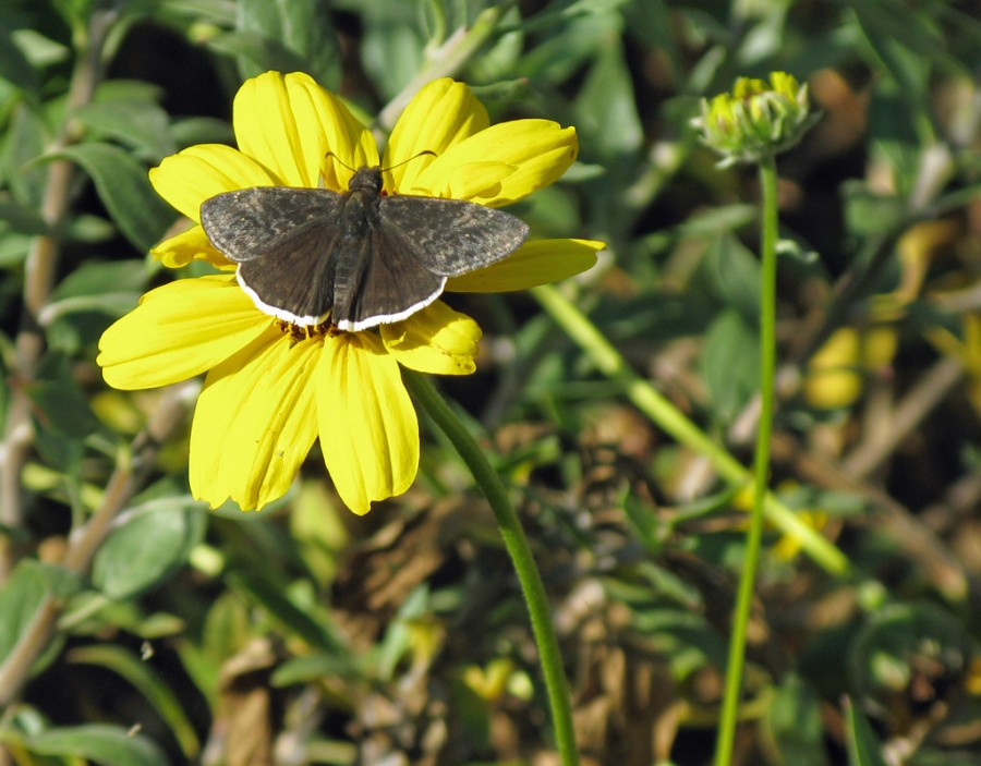 White limned brown butterfly on yellow flower