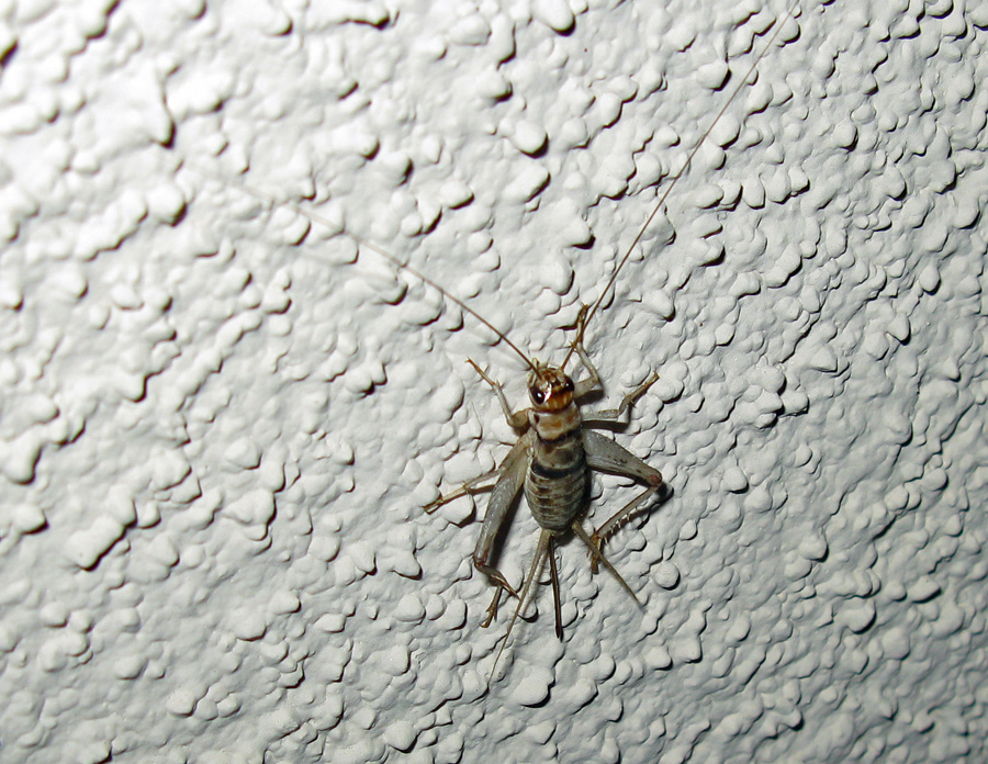 Cricket perched on wall