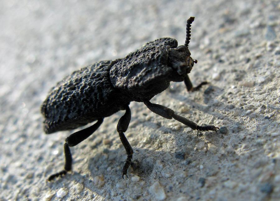 bumpy black beetle
