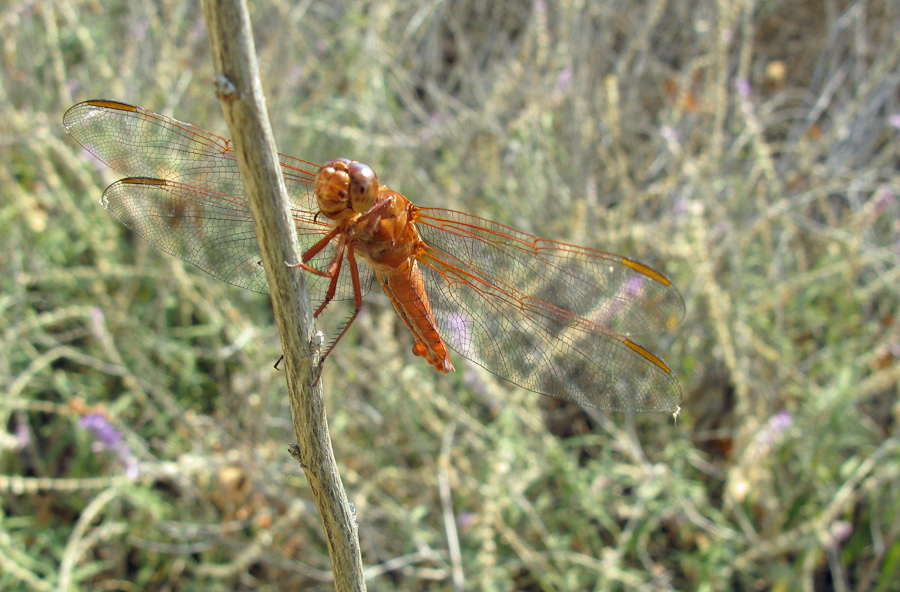perched orange dragonfly