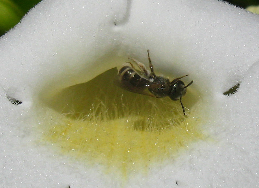 banded bee on white flower