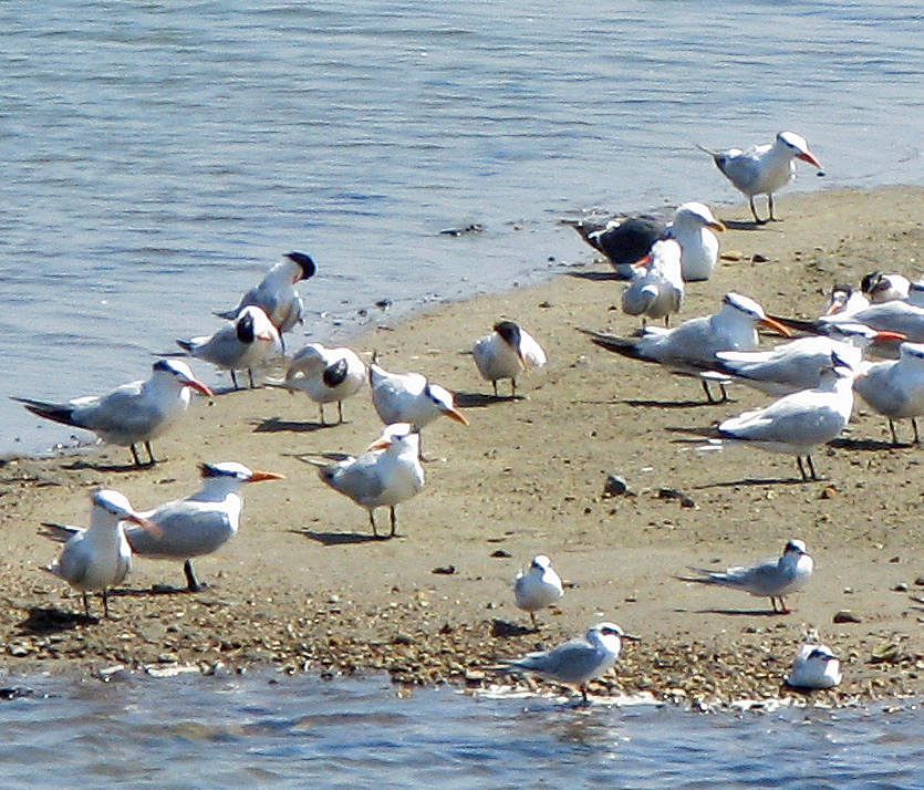 Forster\'s Terns, Elegant Terns, and Western Gulls on a sandbar just off the spit at Bolsa Chica