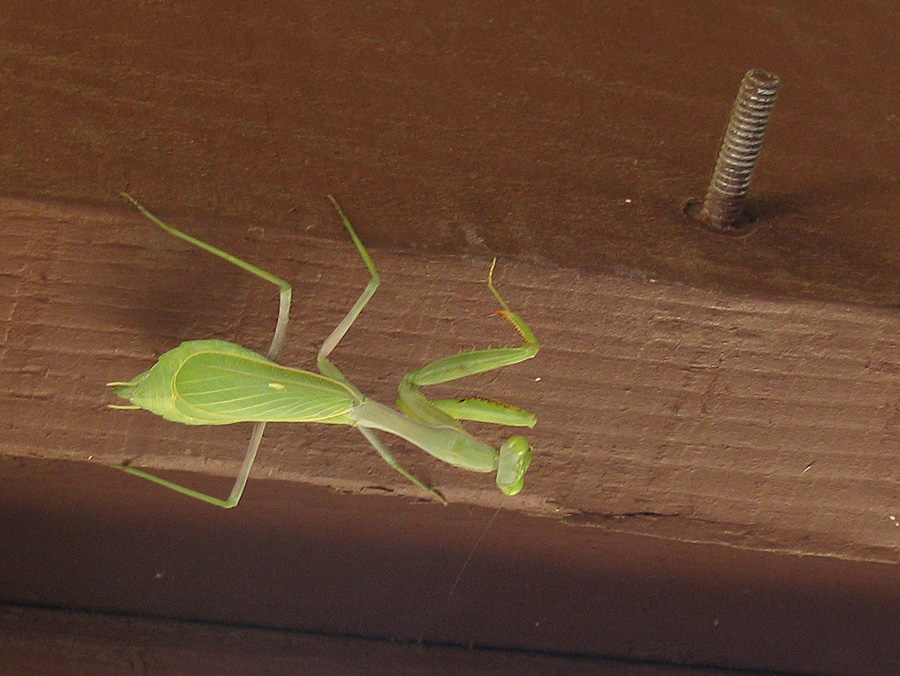 Mantis upside down on beam