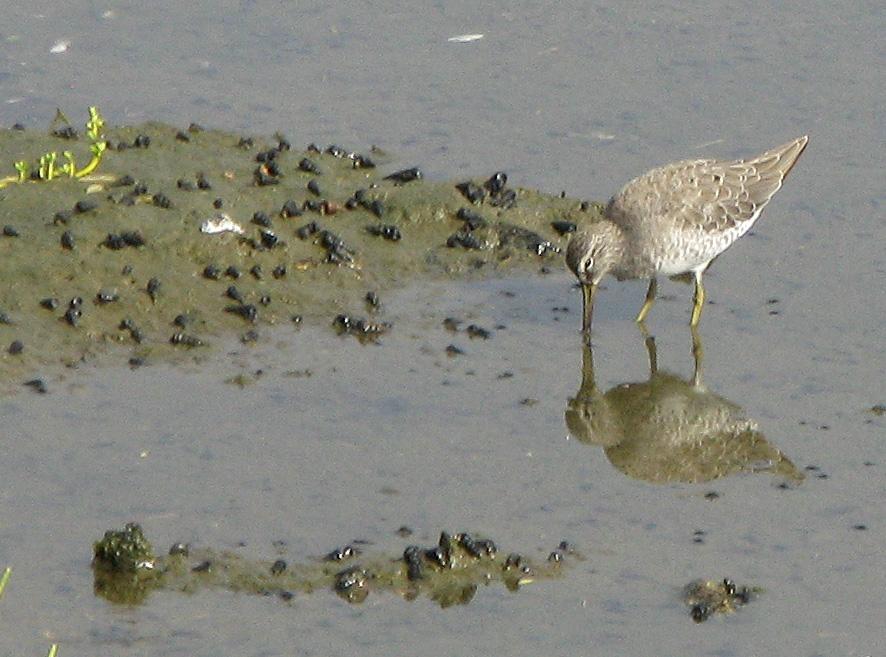 shorebird feeding marsh