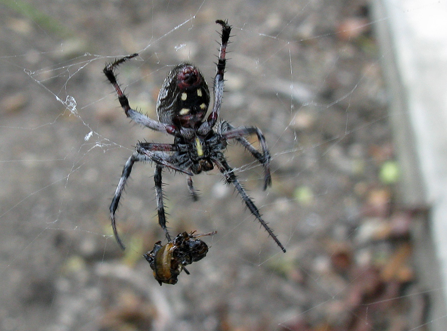 Fly caught in web of large black spider