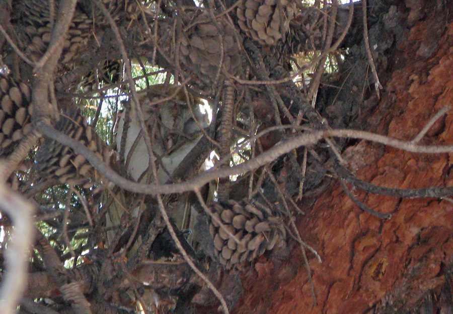 barn owl sleeping in pine tree