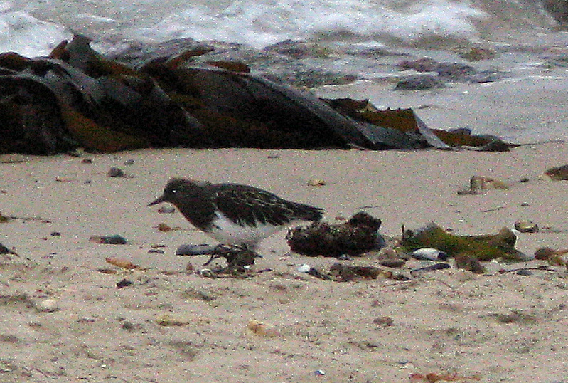Black Turnstone on beach at dusk