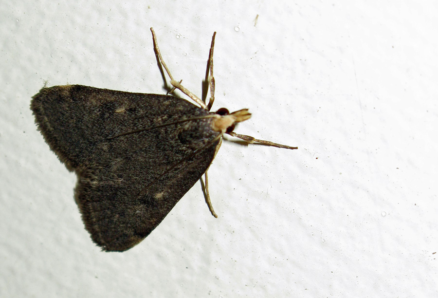 very dark moth with crambid snout