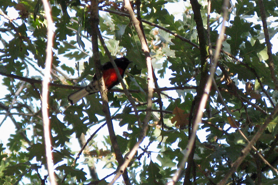 Warbler with black head, bright red chest, and white undertail coverts