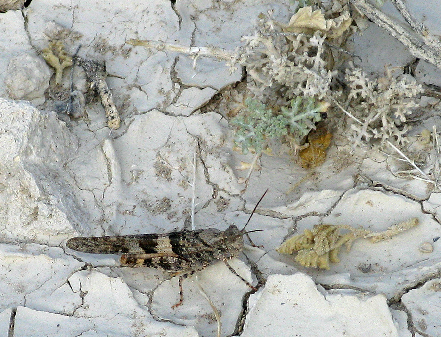 Grey grasshopper in desert