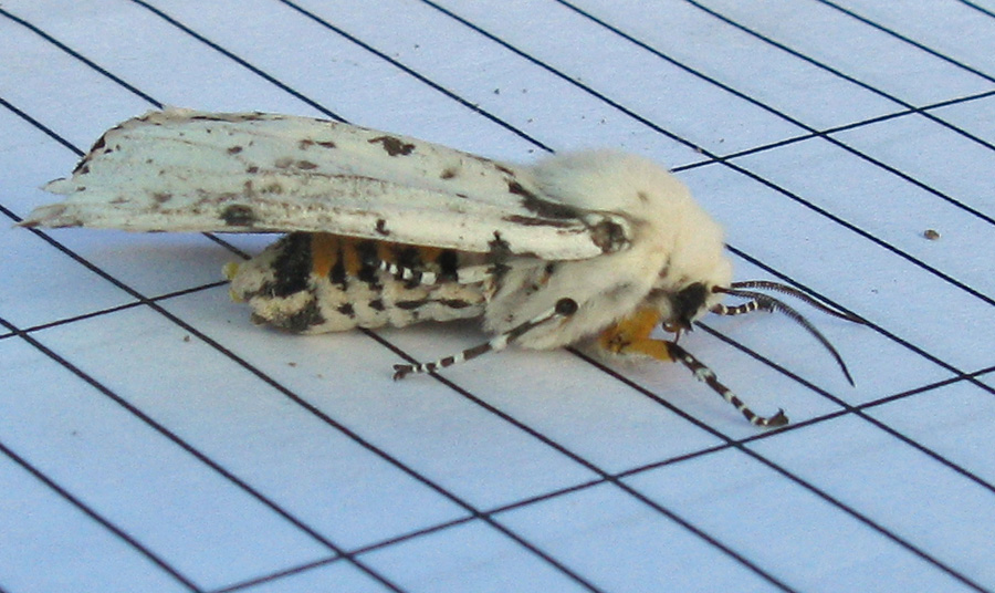 White  and orange moth from side