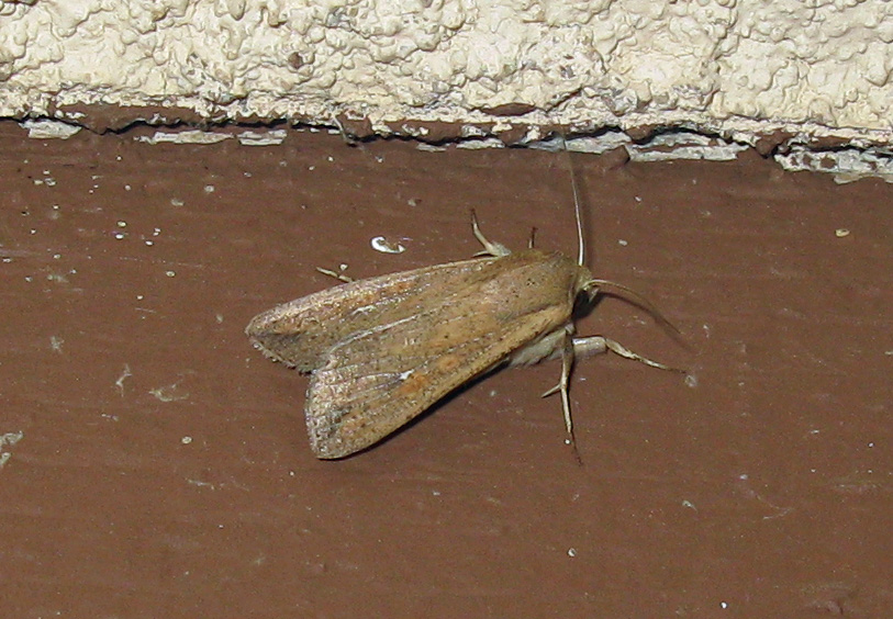 Brown moth on ceiling